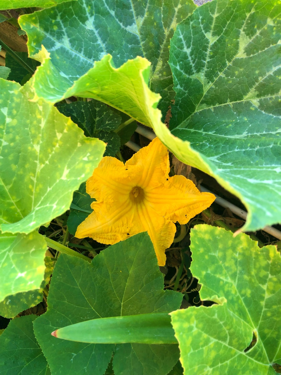 fiore zucca